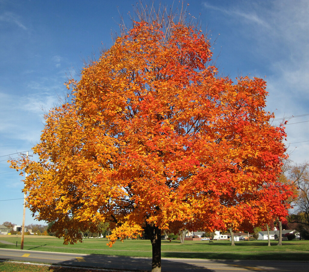Acer Saccharum (sugar Maple Tree In Fall Colors) (Country