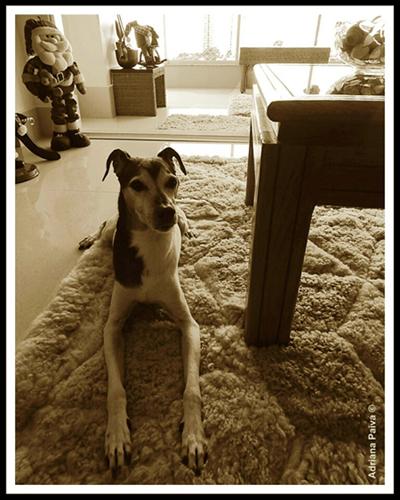 raças de cão cães cachorros Terrier Brasileiro
