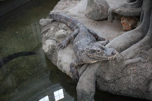 Chinese Aligator