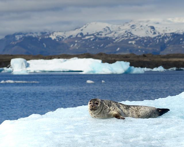 El primero de los leones marinos que vimos posado sobre la nieve de un iceberg