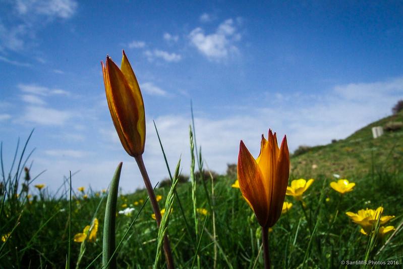 Tulipanes silvestres en lo alto del Montseny