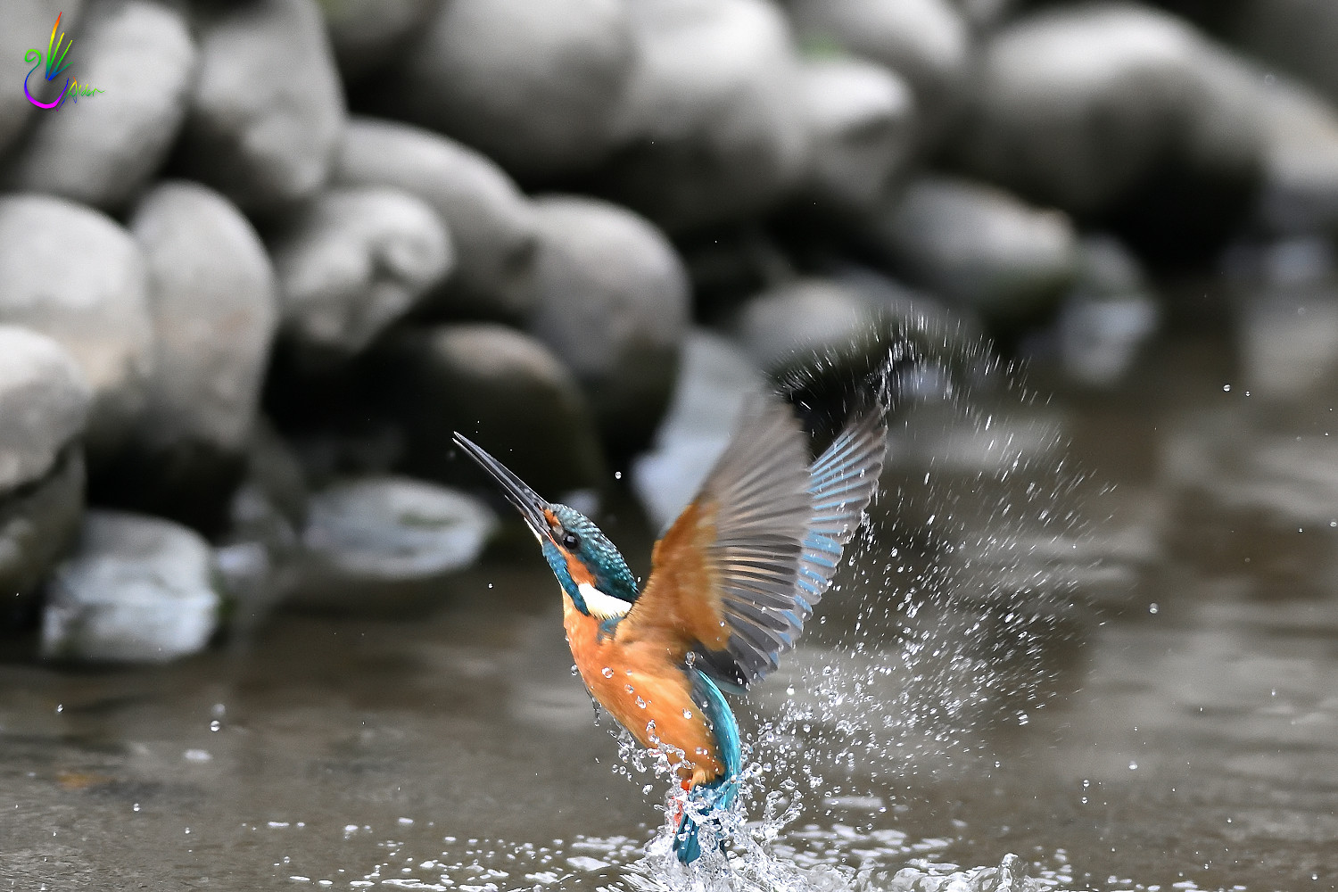 Common_Kingfisher_0976