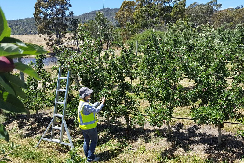 "Maria bei der Arbeit. Äpfel ausdünnen heißt ""apple thinning"""