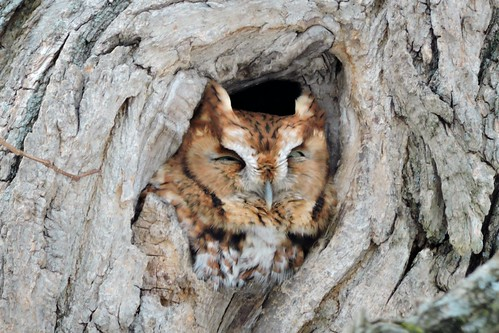#14 Screech Owl