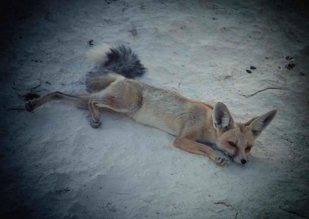 Wild Desert Fox, Egypt