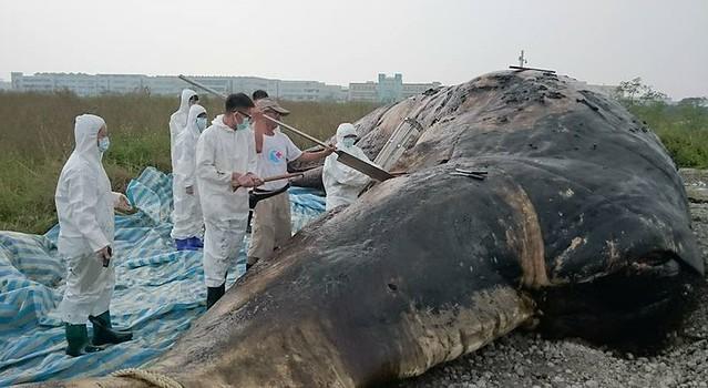 目前解剖完成,已將鯨身就地掩埋,展開製作標本流程,粗估半年才能完成;做成標本後也將供民眾參觀。圖片擷取成大海洋生物及鯨豚研究中心