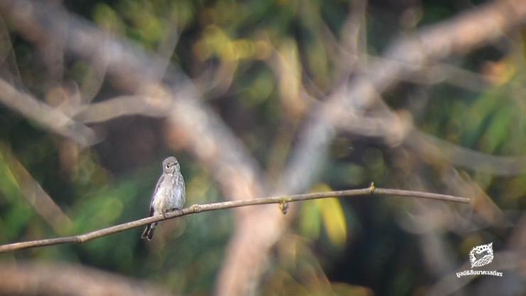 นกจับแมลงสีคล้ำ (Dark-sided Flycatcher)