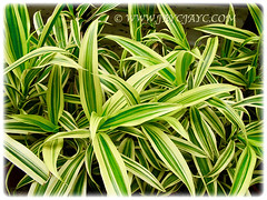Captivating leaves of Dracaena reflexa 'Song of India' (Pleomele, Dracaena reflexa variegata, 'Song-of-India', Reflexed Dracaena), 6 Nov 2011