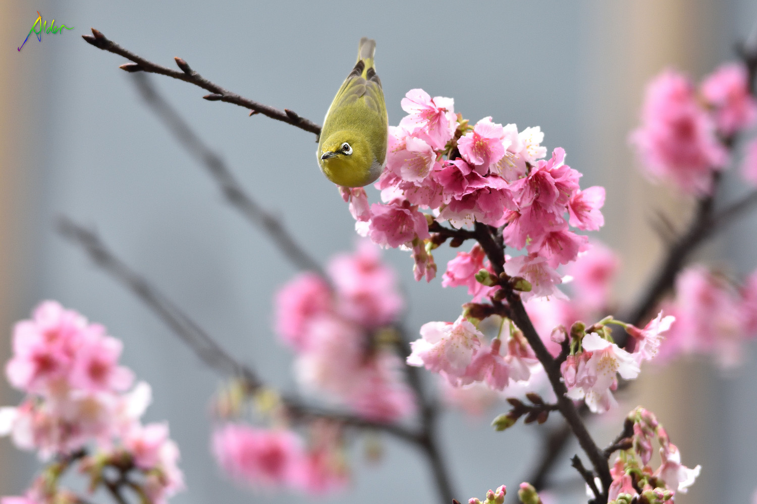 Sakura_White-eye_8052