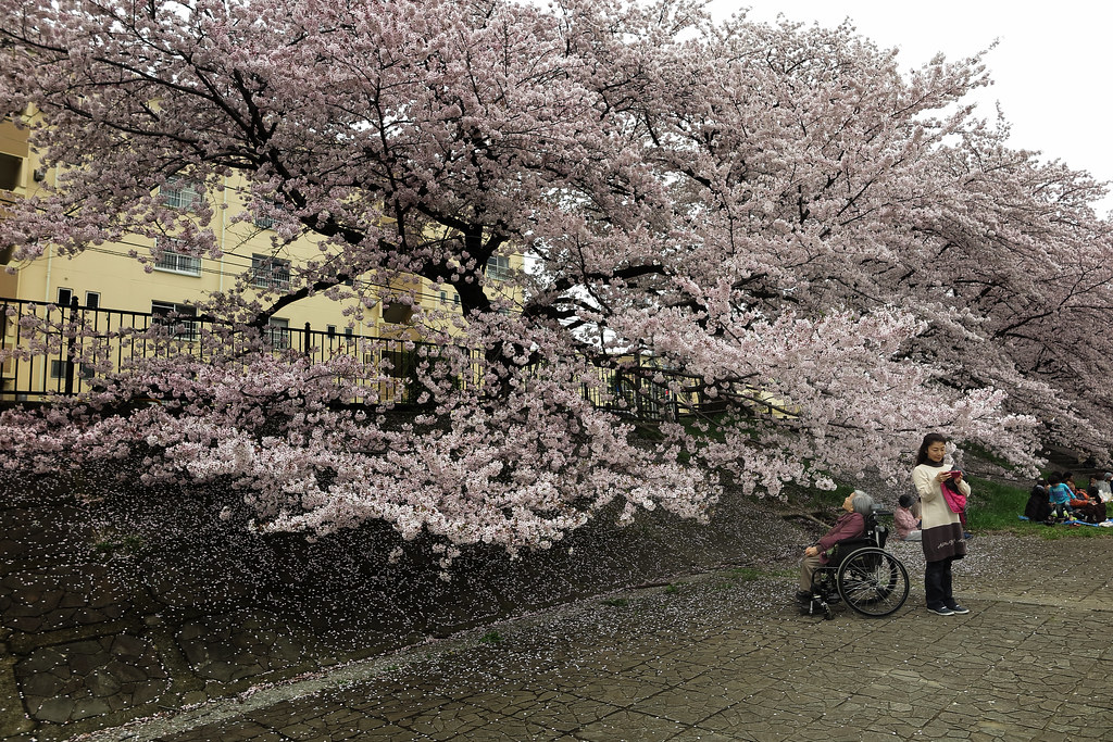 Nostalgia Defined By Cherry Blossom Memories