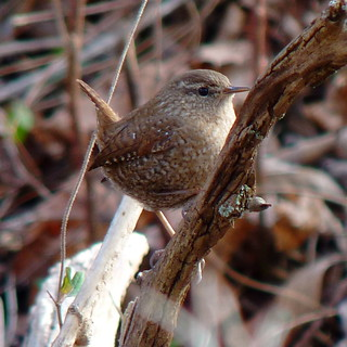Winter Wren | by Dendroica cerulea
