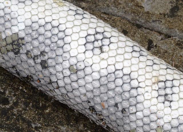 Elegant sea snake, Mooloolaba
