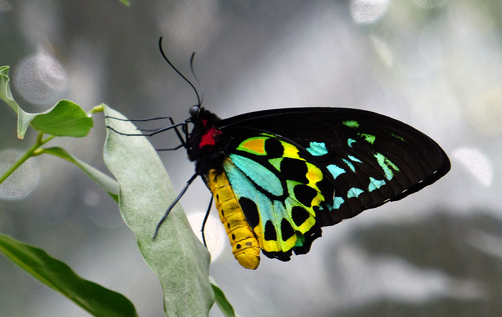 Cairns Birdwing Butterfly The Largest Endemic Butterfly