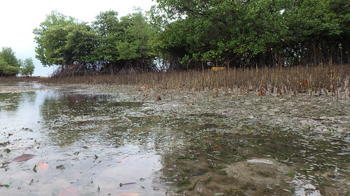 Seagrasses and mangroves at Pulau Semakau