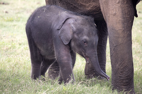 Baby elephant (maybe a couple months old)