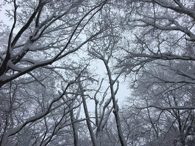 綿向山 雪の森