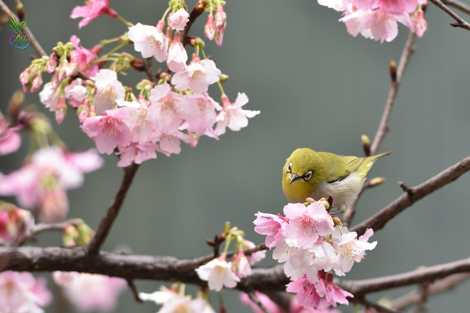 Sakura_White-eye_0147