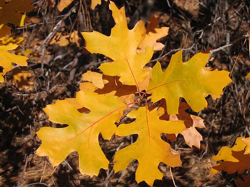 Oak leaves turned yellow in the Modoc National Forest