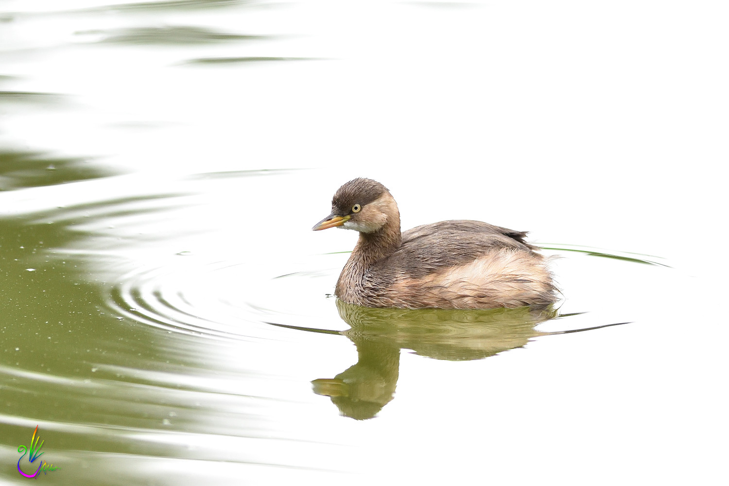 Little_Grebe_8730