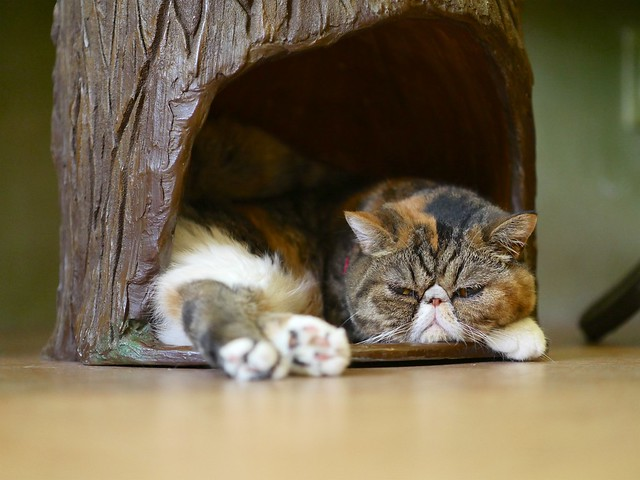 Temari No Ouchi Cat Cafe Breeds