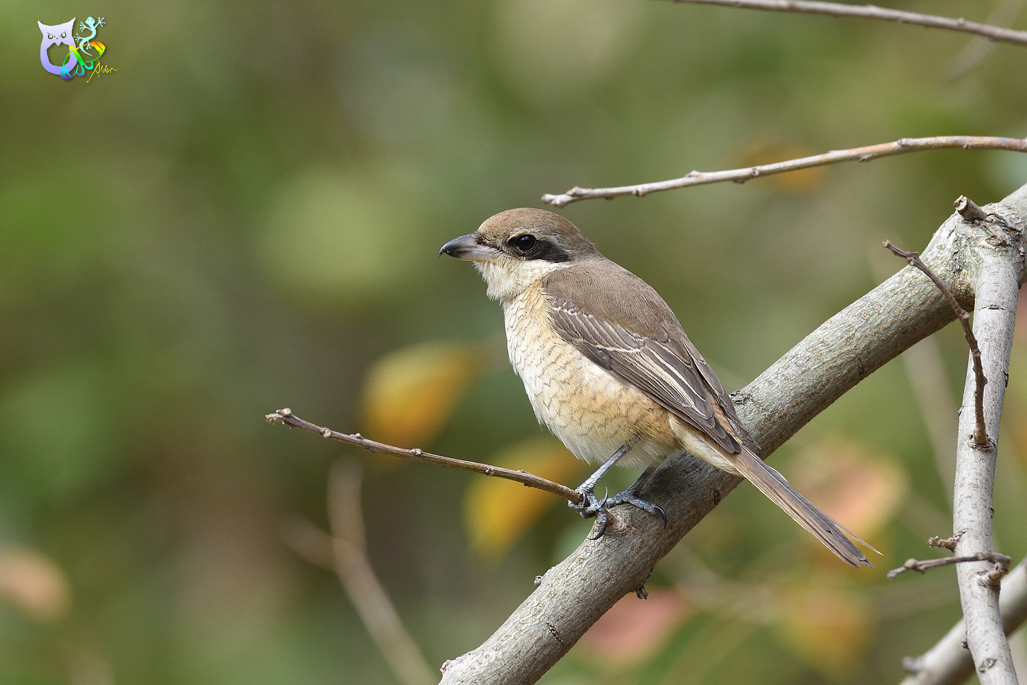 Brown_Shrike_9630