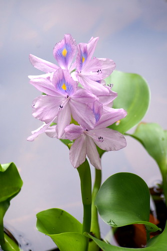 sungei buloh - water hyacinth | by salazar62