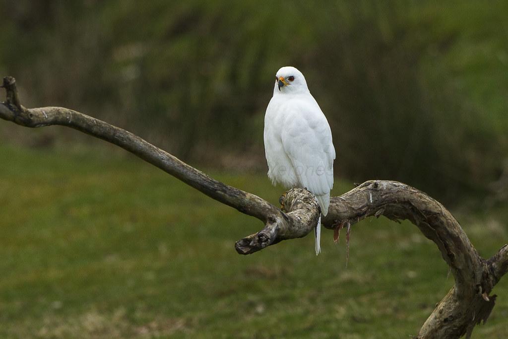 Λευκό πουλί φωτογραφίες