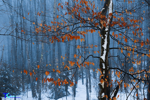 Winter Beech | by Tim_NEK