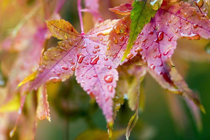 Autumn Leaves in the Rain