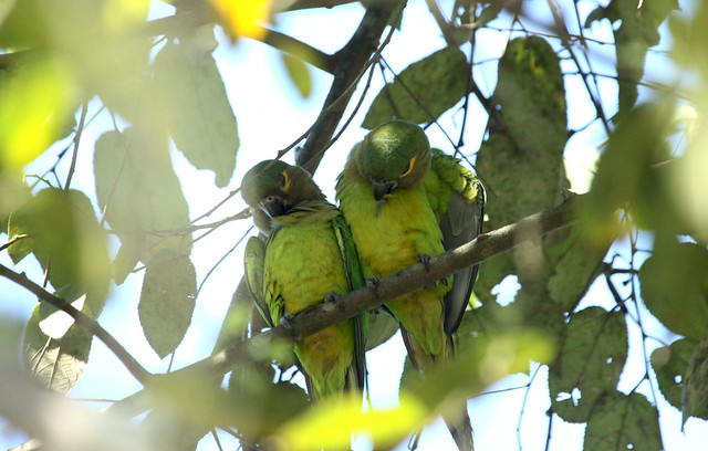 Brown throated parakeet