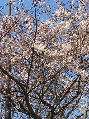 明治通り(渋谷橋近辺)の桜 2017.3.28 午前
