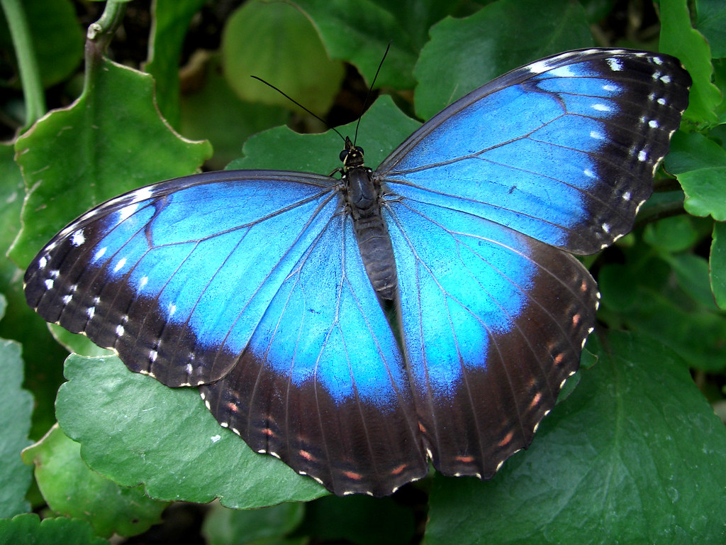 Blue Morpho Butterfly Close Up Species Id Please I Love