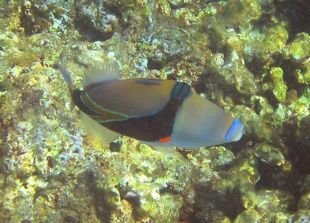 Humuhumunukunukuapua 39 a the state fish of hawaii the for Hawaii state fish