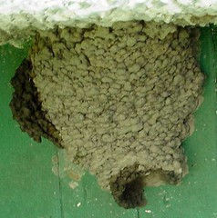 Cliff Swallow Nest | by The Nature Lady