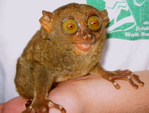 Tarsier Monkey - Bohol, Philippines | by Joe Jimenez
