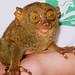 Tarsier Monkey - Bohol, Philippines