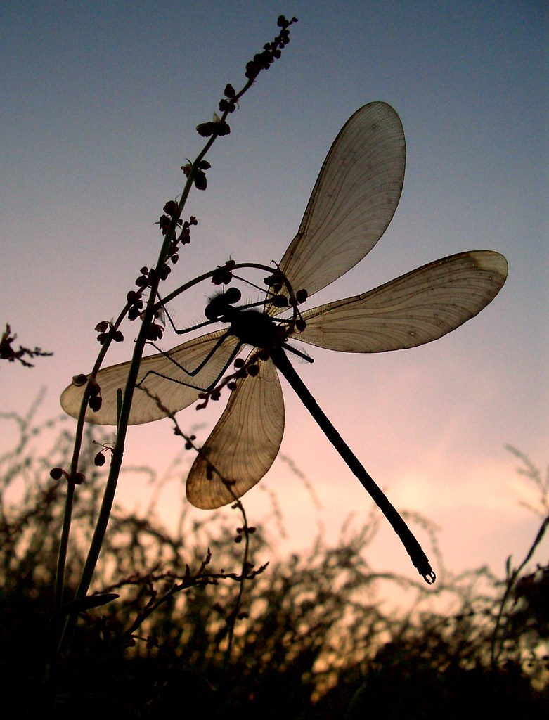 dragonfly silhouette a dragonfly watches the sun setting flickr