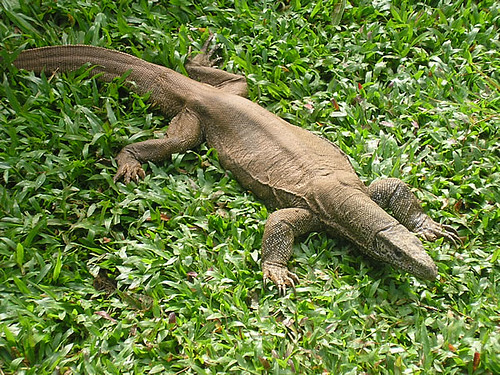 Iguana Sri Lanka | Iguana Sri Lanka | Asanga | Flickr