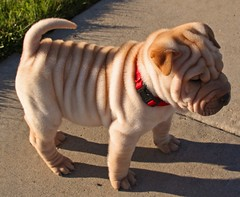 Sharpei puppy | by fredism