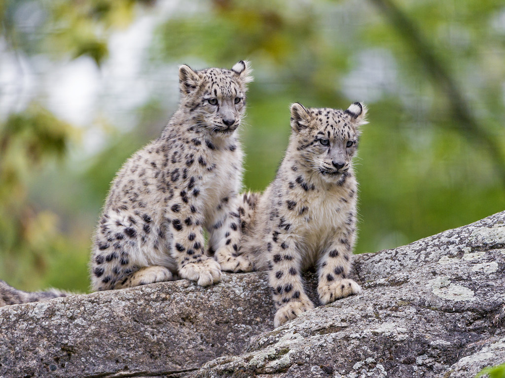Best Snow leopard facts ideas on Pinterest Facts about snow