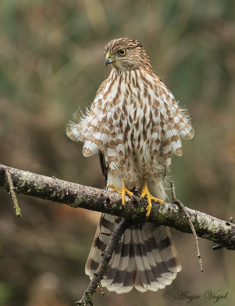 Whats For Lunch Asked Coopers Hawk >> Coopers Hawk Looking For Lunch In My Backyard And Left Hu