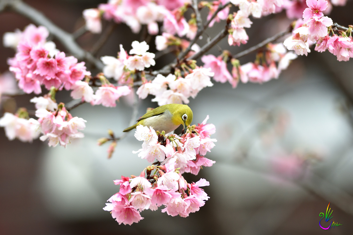 Sakura_White-eye_0926