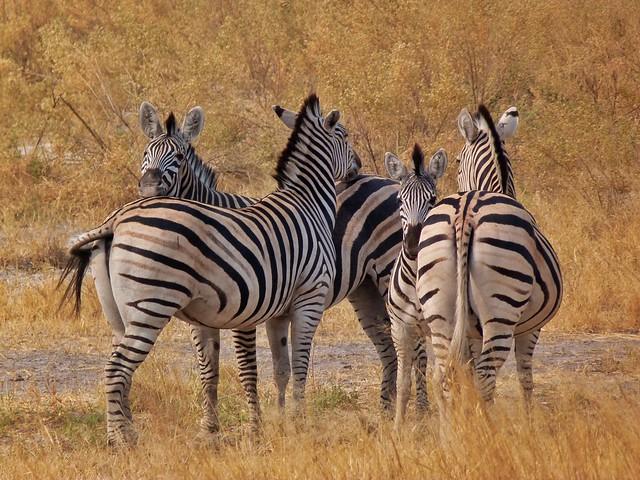 Cebras en Botswana