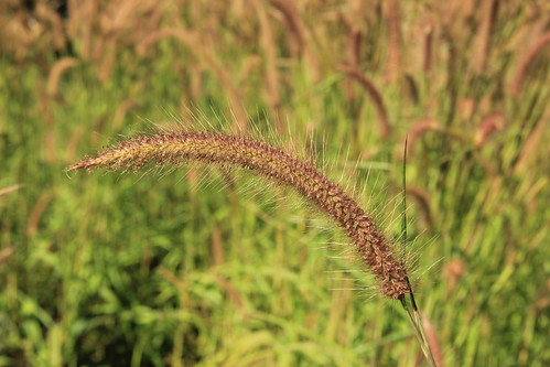 Grass seed on the stem, Kalaw to Inle Lake trek