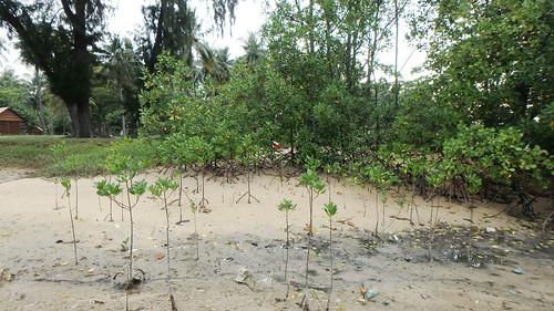 Mangroves at Pulau Hantu