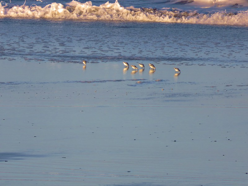 Sanderlings on Baker Beach