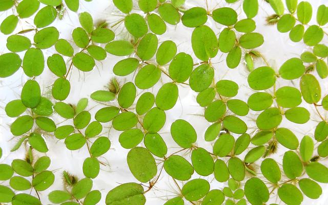 サンショウモ 山椒藻 サルビニア ビオトープ 水生植物 Salvinia natans Floating Fern