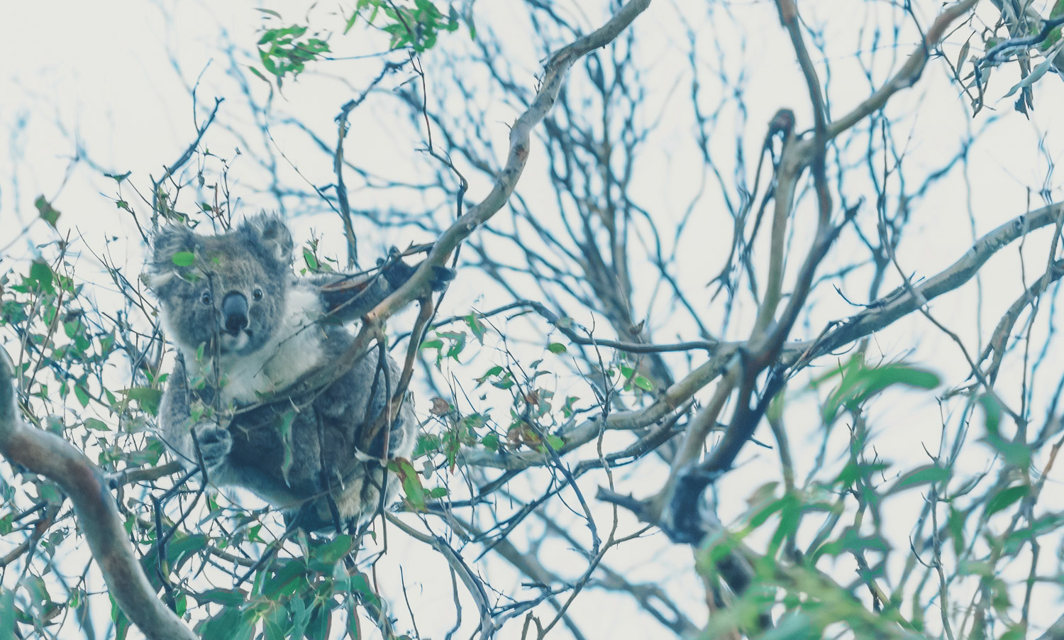 Active Koala in the trees - Cape Otway