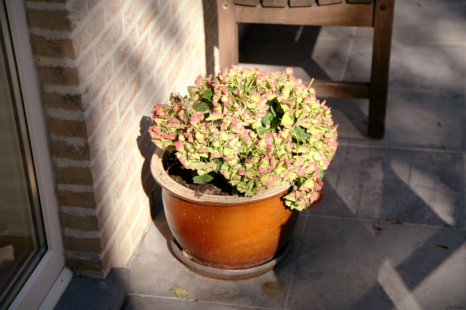 hortensia hydrangea plant flowers autumn fall september sun light weather garden patio potted belgium europe outside yard outdoor sunny
