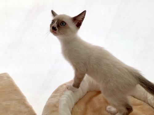Musa, gatita Snowshoe extrovertida y activa nacida en Agosto´15, en adopción. Valencia. ADOPTADA. 22061670006_8755bfd2a4